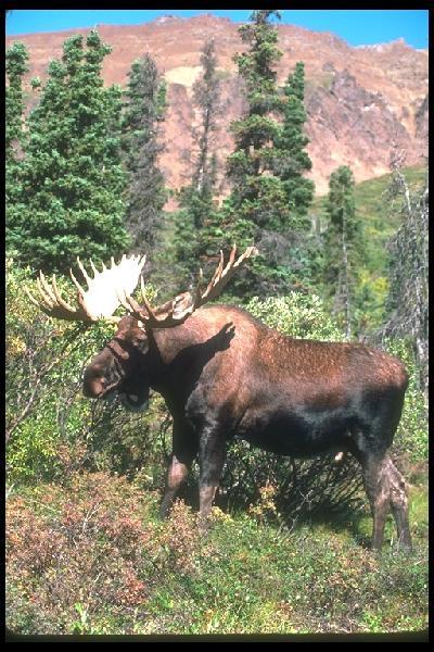 N.h. Moose Moose Tours - DAN'S SC...